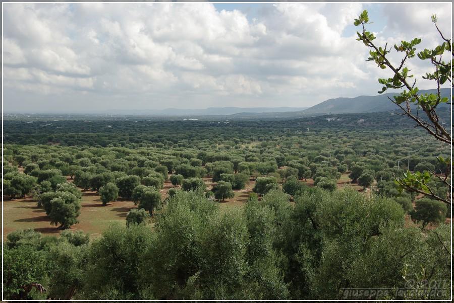 piana-ulivi-secolari-ostuni
